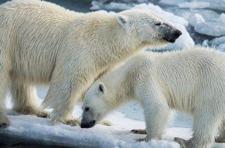 L'orso dell'Artico russo e i turisti 'cibo in scatola'