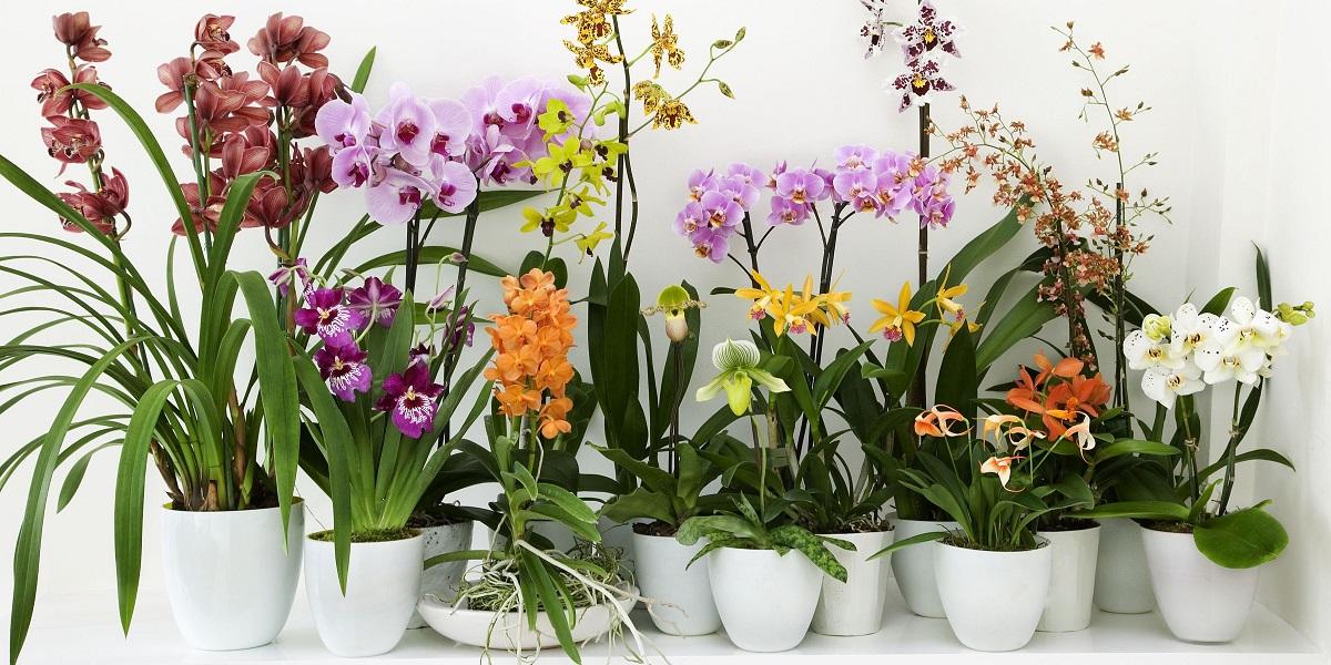 L 39 orchidea e il fagiolo magico incantesimo napoletano for Orchidee in casa