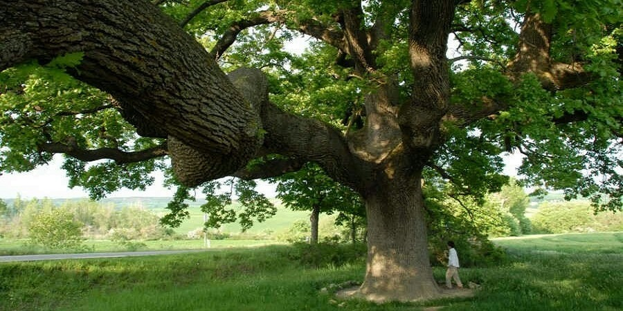La 'Querciona', la quercia delle checche