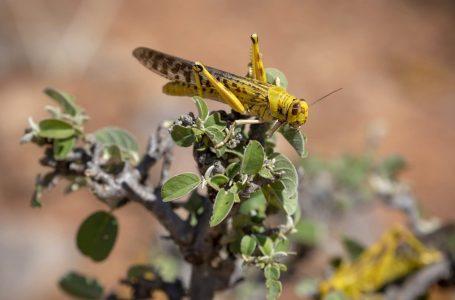 Locuste sull'Africa – Coronavirus sul mondo e le piaghe bibliche